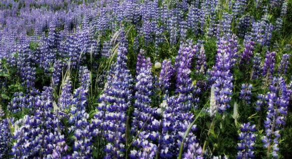 floreas azulesP1660751
